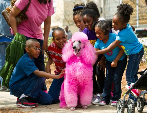 Blossom, Paul and Alice Williams' pink poodle, was on hand for petting and photos with the crowd attending the Cherry Blossom Festival Third Street Park festivities.