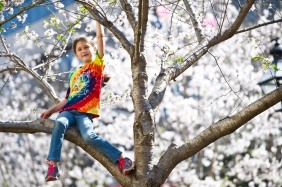 Gracie Jackson, 8, climbs in a Yoshino cherry tree in Third Street Park at the Cherry Blossom Festival festivities. Jackson was waiting for the ice servers to start handing out the cold treat to the crowd.