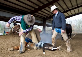 Michael Bruce from Colorado brands a steer at Bill Barnes Stoney Creek Ranch in Monroe County. Barnes cowboy and cowgirl friends come from around the country to help him doctor and brand his calfs.